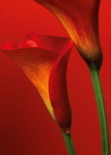 Fototapet floral CALLA