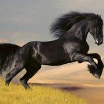 Fototapet black horse